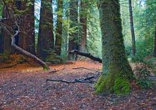 mossy redwoodträd för skog Arkivfoto
