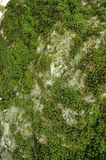 Mossy rock background. Rock covered with moss in the forest Royalty Free Stock Photography