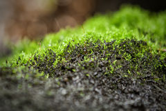Mossy Rock. A close-up of new fern growth on a patch of rock Stock Photography