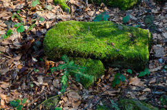 Mossy rock. Lying in the leafs Stock Image