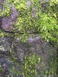 Mossy rock. Moss covering rock wall Stock Photography