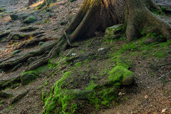 Mossy rocks with roots. Rocks in the wood with roots Royalty Free Stock Images