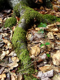 Mossy Root. A large root covered in green moss Royalty Free Stock Image