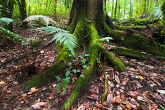 Mossy roots of giant tree and fern growing in tropical forest Royalty Free Stock Photography