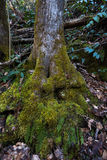 Mossy Roots of Tree Stock Photography