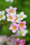 Mossy saxifrage, fireworks Royalty Free Stock Photography
