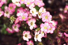 Mossy Saxifrage flowers Royalty Free Stock Image