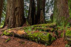 Mossy sequoia tree trunk in the Redwoods Forest in California Royalty Free Stock Images