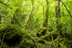 Mossy stone and lined tree. Green mossy stone and lined tree trunk in fresh green native forest Stock Photo