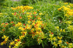 Mossy Stonecrop Flower. Sedum acre ground level royalty free stock photo