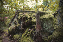 Mossy stump. Large stump in the forest mossy Royalty Free Stock Photography