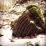 Mossy stump. Mossy tree stump in the winter forest Royalty Free Stock Photography