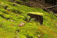 Mossy stump Royalty Free Stock Photo