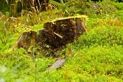 Mossy stump Royalty Free Stock Images