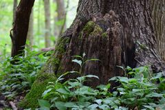 Mossy Stump. Woodsy, stump growing with moss in the local park and woods Royalty Free Stock Photo