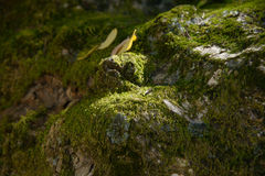 Mossy surface of old tree Royalty Free Stock Images