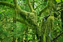 Mossy Tree Royalty Free Stock Images