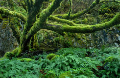 Mossy Tree Royalty Free Stock Photos