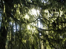 Mossy Tree. Sun shines through a beautiful mossy tree Royalty Free Stock Photos