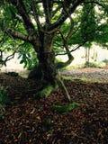 mossy tree Arkivfoto
