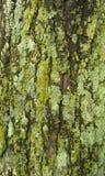mossy tree Royaltyfri Foto