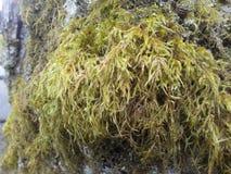 mossy tree Fotografering för Bildbyråer