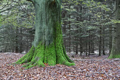 Mossy tree in an autumnal forest Stock Photography
