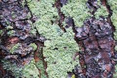 Mossy tree bark. Close-up Mossy tree bark Royalty Free Stock Image