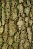 Mossy Tree Bark of Pine Tree stock image