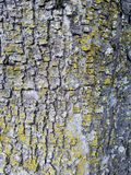 Mossy Tree Bark Reference. The bark from the trunk of a pine tree, it is very rough Royalty Free Stock Image