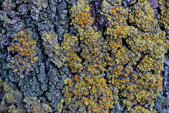 Mossy Tree Bark Texture Royalty Free Stock Photography
