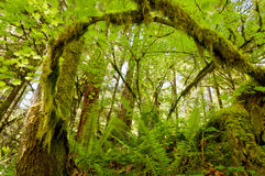 Mossy Tree branch arched in forest. Perspective of mossy arched tree branch in forest royalty free stock images