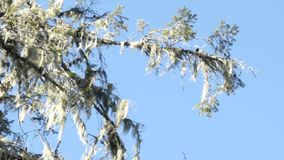 Mossy tree branch on a sunny day. Mossy tree branch on a bright sunny day stock footage