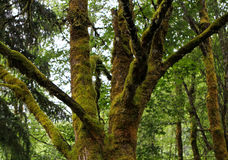 Mossy Tree Branches Detail. Forest Tree Background, Lush Mossy Forest Stock Photography