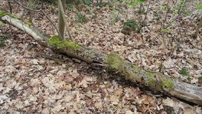 Mossy tree in the forest stock footage