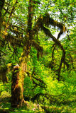 Mossy tree, Hoh Rain Forest, Olympic National Park Royalty Free Stock Image