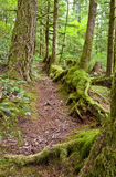 Mossy tree path in forest. Mossy trees and roots along forest floor pathway royalty free stock photo