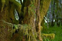 Mossy Tree of Rainforest Royalty Free Stock Image