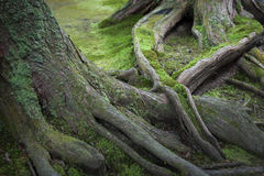 Mossy Tree Roots. Roots of an old tree in a Japanese garden covered in moss Stock Photos