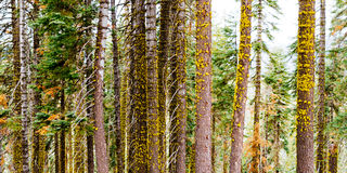 Mossy tree stand. A beautiful stand of old growth pines just before they were harvested Stock Images