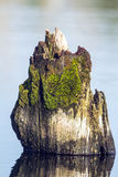 Mossy Tree Stump in a Lake. Stock Photo