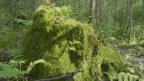Mossy tree stump in the morning sun. Mossy Stump in the forest and sun reflection stock video