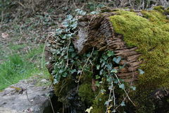 Mossy tree trunk Royalty Free Stock Photo