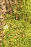 Mossy tree trunk Royalty Free Stock Photography