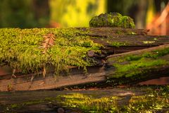 Mossy tree trunk in the Redwoods Forest in California Royalty Free Stock Photos