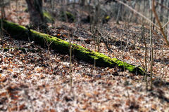 Mossy Tree Trunk. This fallen tree in the woods of Wisconsin is covered in a vibrant green moss Royalty Free Stock Images