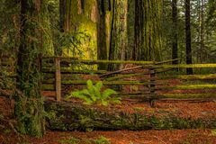 Mossy sequoia tree trunk in the Redwoods Forest in California Stock Photography