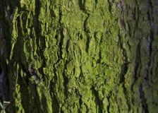 Mossy Tree Trunk Royalty Free Stock Photo