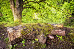 Mossy tree trunk in the forest Royalty Free Stock Photo