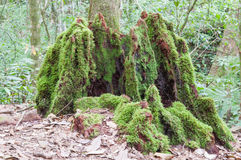 Mossy tree trunk in the forest Stock Image